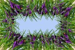 Krokusów liści i kwiatów rama Fotografia Royalty Free