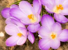 Krokusów purpurowi okwitnięcia Zdjęcie Stock