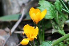 Krokus är gul Våretude Fotografering för Bildbyråer