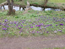Krokus łąka Zdjęcia Stock