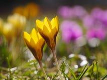 Krokus łąki wiosna Zdjęcia Stock