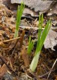 Krokus żarówki kiełkować w trociny Fotografia Stock