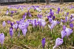 Krokus auf einer Lichtung auf Wiese im Frühjahr Stockbilder