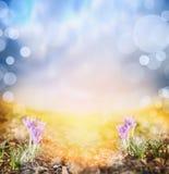 Krokus auf sonniger Wiese gegen Sonnenunterganghimmel, Frühlingshintergrund Lizenzfreies Stockfoto