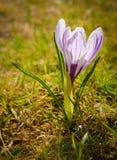 Krokus av vit- och lilafärger Arkivbilder
