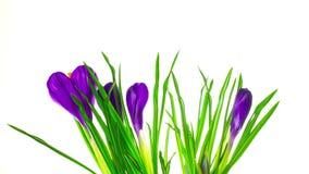 Krokus blüht Blüte, Zeitversehen stock video