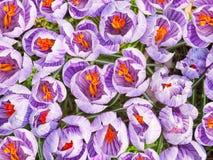 Krokus, Blütenpflanzen, Bündel Krokusse Hintergrund, Draufsicht Stockfoto
