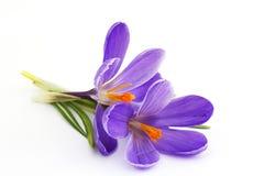 Krokus - bloemen van de lente Stock Afbeelding