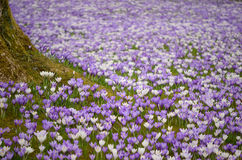 Krokus blommar arround ett träd Fotografering för Bildbyråer