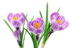 Krokus blommar closeupen som isoleras på vit Fotografering för Bildbyråer