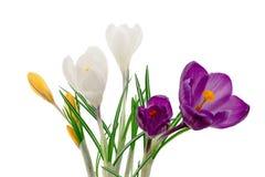 Krokus blommar closeupen som isoleras på vit Arkivfoto