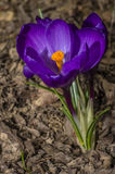 krokus blommar först vektorn för fjädern för blommaillustrationsnow Arkivbild