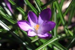 krokus blommar först vektorn för fjädern för blommaillustrationsnow Arkivfoton