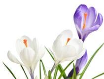 krokus blommar fjädern arkivfoto