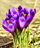 krokus blommar fjädern Royaltyfri Foto
