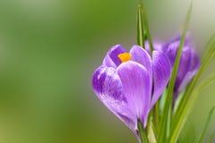krokus blommar fjädern Arkivbild