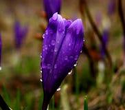 Krokus blommar i morgondagg Royaltyfri Bild