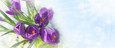 Krokus blommar i snön med copyspace Fotografering för Bildbyråer