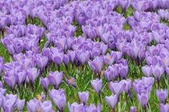 krokus blommar purple arkivbild