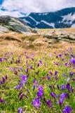 Krokus blommar sju Rila sjöar i Bulgarien arkivbild