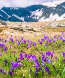 Krokus blommar sju Rila sjöar i Bulgarien royaltyfria foton
