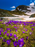 Krokus blommar sju Rila sjöar i Bulgarien royaltyfri foto