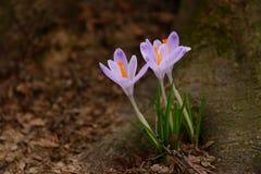 krokus blommar skogen royaltyfri bild