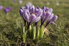 krokus blommar springtime Arkivfoto