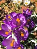 krokus blommar springtimesolsken Royaltyfri Fotografi