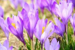 Krokus blommar tätt upp Arkivfoton