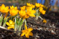 krokus blommar tidigt fjädern royaltyfri fotografi