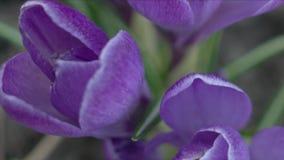 krokus blommar violeten arkivfilmer