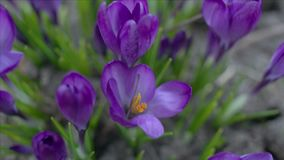 krokus blommar violeten lager videofilmer