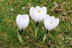 krokus blommar white Arkivfoto