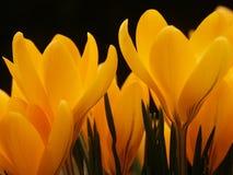 krokus blommar yellow Arkivbild