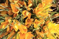 krokus blommar yellow Arkivbilder