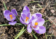 Krokus - blomming Frühlingsblumen Lizenzfreie Stockbilder