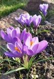 Krokus - blomming Frühlingsblumen Lizenzfreies Stockbild
