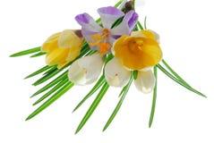Krokus-Blumen Lizenzfreie Stockbilder