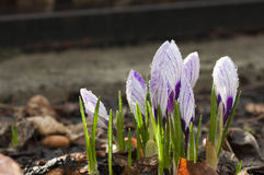 Krokus ;crocus Royalty Free Stock Photo