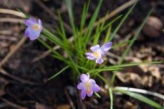 krokus De bloem van de lente Royalty-vrije Stock Afbeelding
