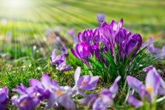 Krokus in de de lentezonneschijn Royalty-vrije Stock Foto