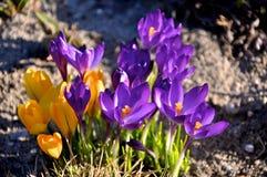 Krokus in de lente Royalty-vrije Stock Afbeeldingen
