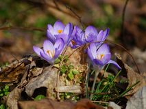 Krokus, de lente Royalty-vrije Stock Afbeelding