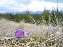 Krokus in de vroege lente in de bergen Royalty-vrije Stock Afbeeldingen