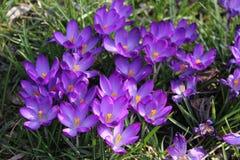 Krokus - eerste teken van de lente Royalty-vrije Stock Afbeelding