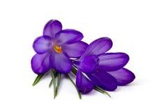 Krokus - eine der ersten Frühlingsblumen lizenzfreies stockfoto