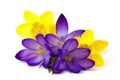 Krokus - eine der ersten Frühlingsblumen lizenzfreie stockfotos