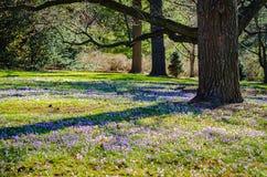 Krokus-Feld - Longwood-Gärten - PA Lizenzfreies Stockbild