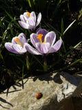 krokus Fjädra krokus med nyckelpigan på solljuskonstljus Unik färg av vårkrokusblomman i trädgård Ingen stolpeprocess Royaltyfri Fotografi
